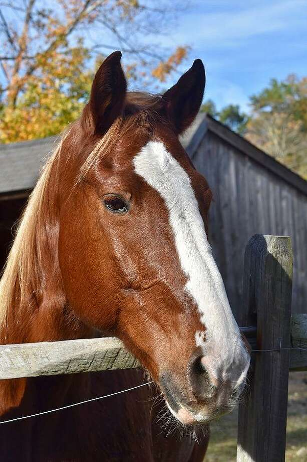 H.O.R.S.E. of CT on Wilbur Road in Washington, with its horses including Zeus, is taking part in Open House Day 2018. Photo: Contributed Photo /