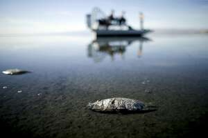 FILE - In this April 29, 2015 file photo, oxygen-starved tilapia float in a shallow Salton Sea bay near Niland, Calif. Proposition 68 would authorize $4 billion in bond funds for parks and environmental protection projects, including authorizing $200 million for a plan to save the Salton Sea. (AP Photo/Gregory Bull, File)
