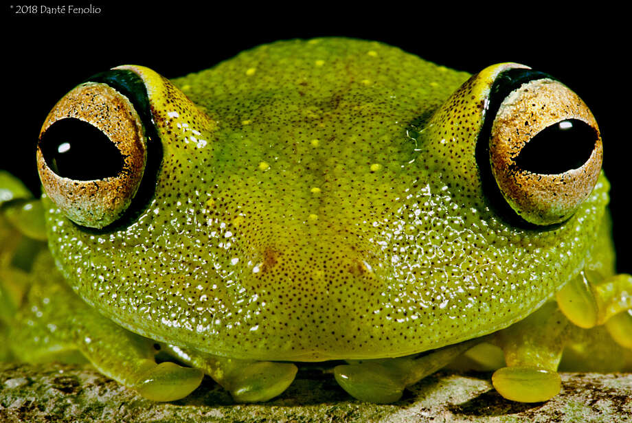 Eye-ring bush frogs can be found in the Amazon. (Courtesy of Dante Fenolio)