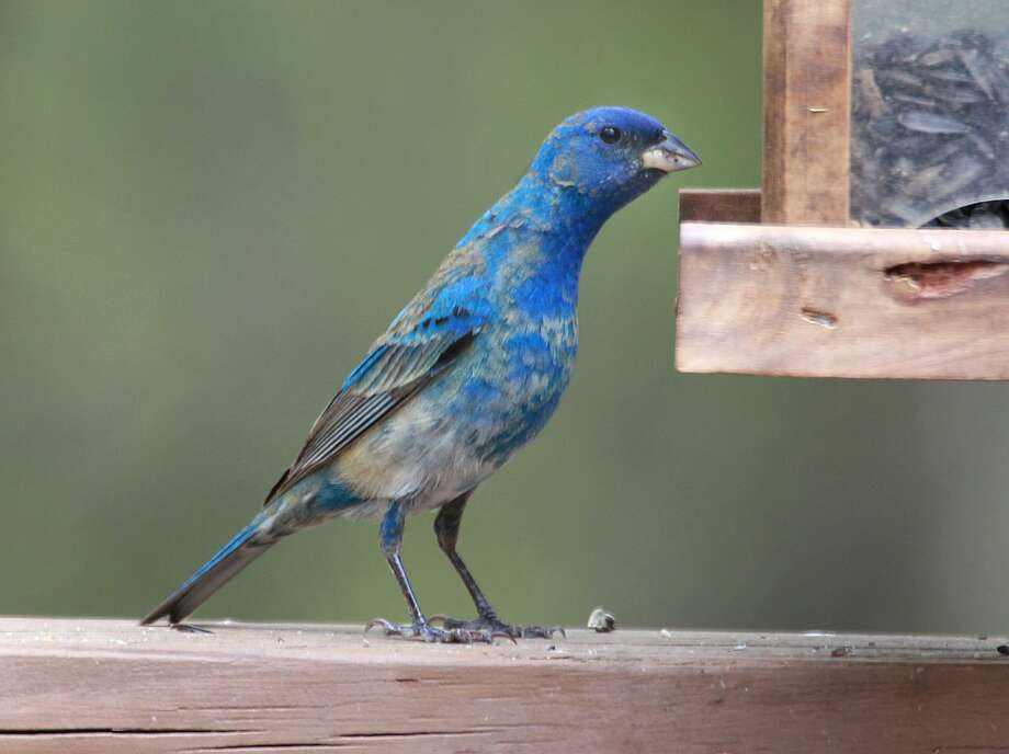 An indigo bunting visits a feeder in Danbury during spring 2018. Photo: Chris Bosak / Hearst Connecticut Media / The News-Times