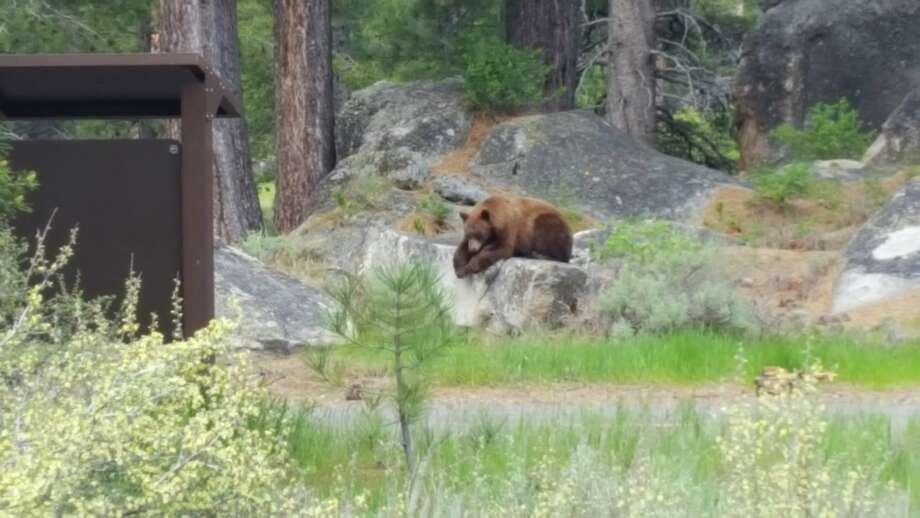 A black bear was seen with her cub along a bike path near Lake Tahoe. Photo: El Dorado County Sheriffs Office
