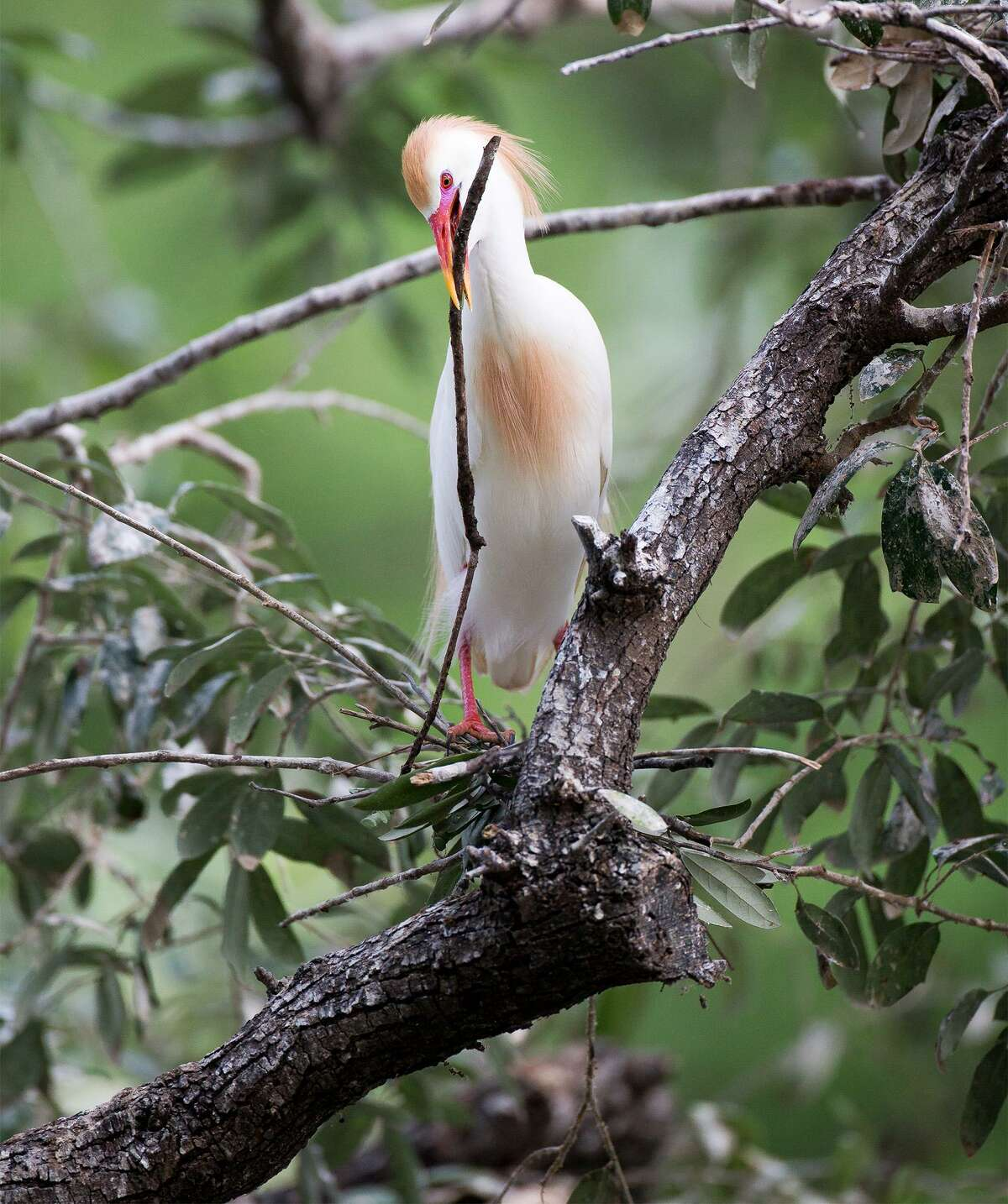 A cattle egret adds a branch to its nest in Brackenridge Park.