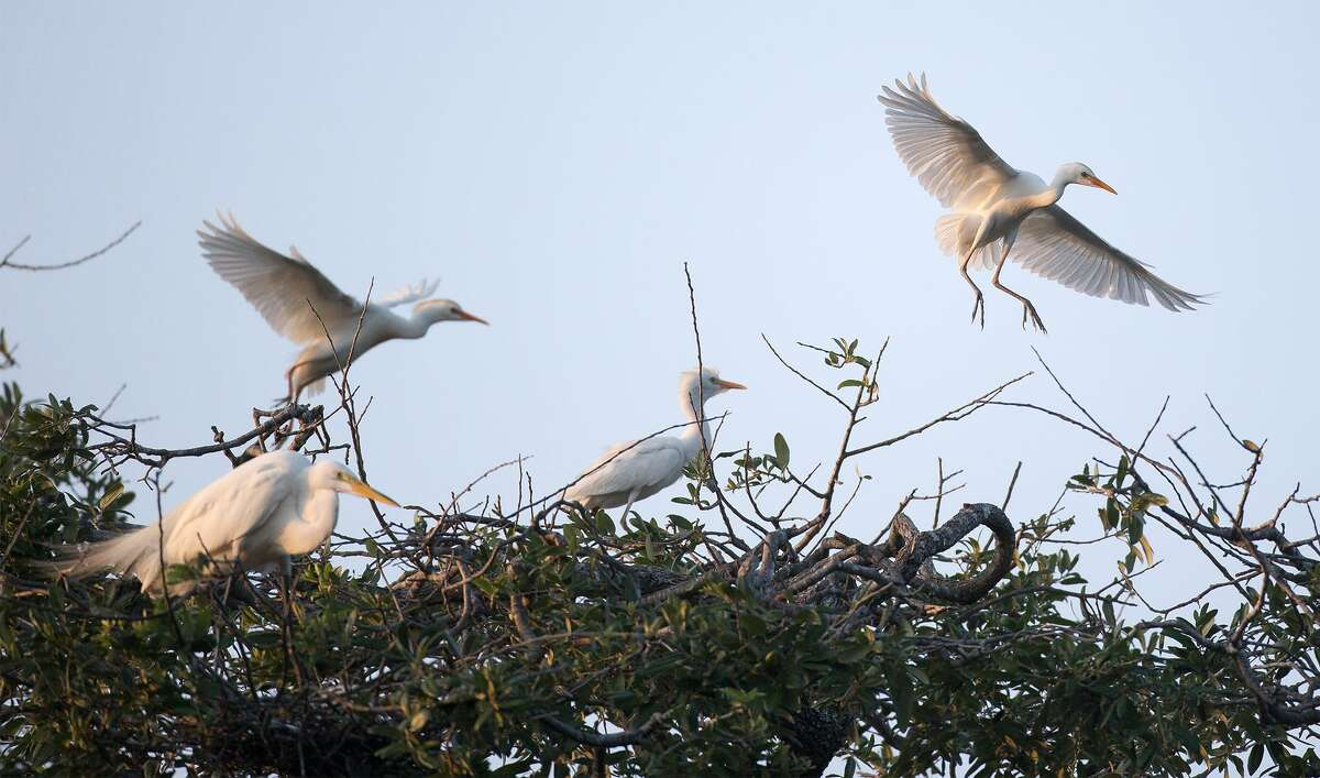 Egrets come to roost at Brackenridge Park.