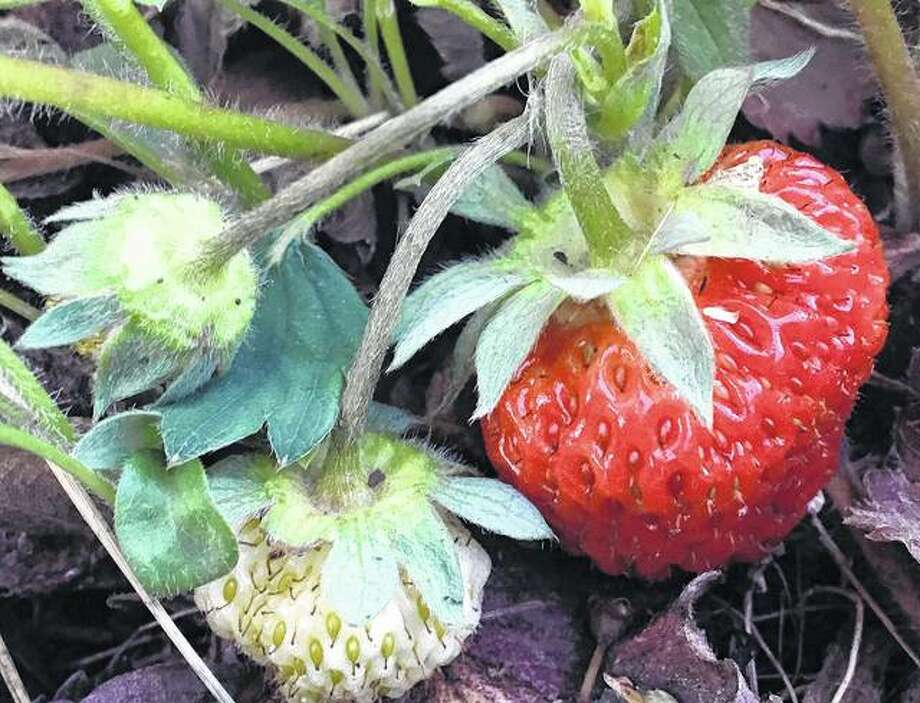 A plump strawberry stands out for picking among others in a garden.