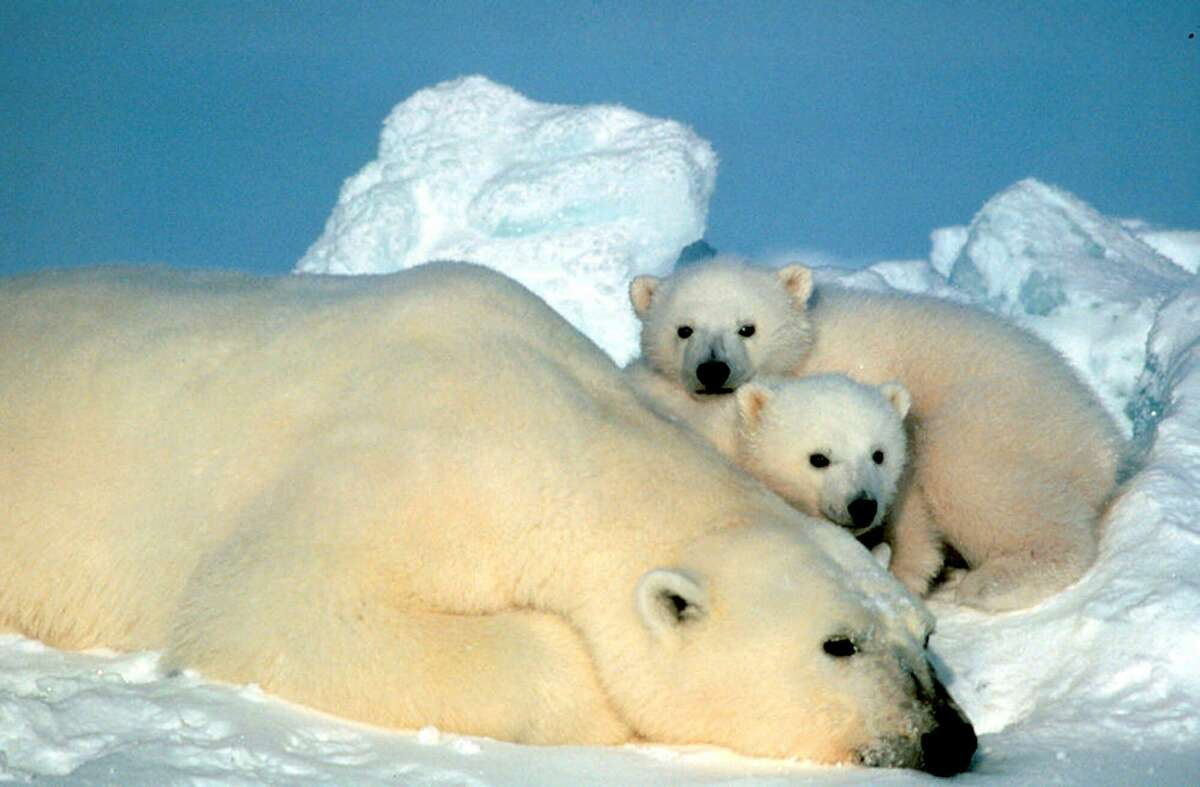 A female polar bear and her cubs are shown in the Arctic National Wildlife Refuge in Alaska.