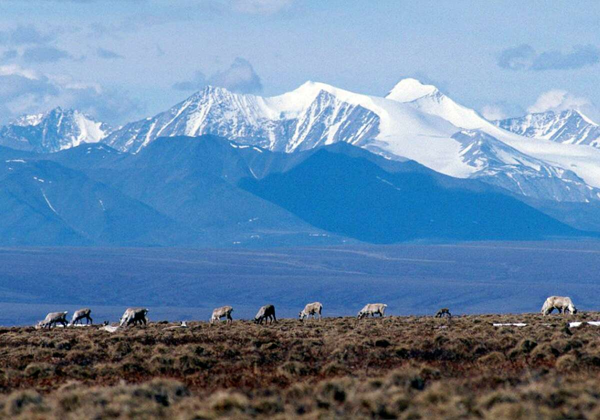 Caribou, shown in this undated file photo, graze on a section of the Arctic National Wildlife Refuge in Alaska.