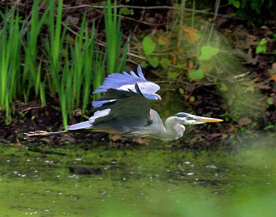 Click through the slideshow for wild animal sightings through the years in the Capital Region. A great blue heron flies through a wetlands Thursday June 7, 2018 in Halfmoon, NY.  (John Carl D'Annibale/Times Union) Photo: John Carl D'Annibale, Albany Times Union