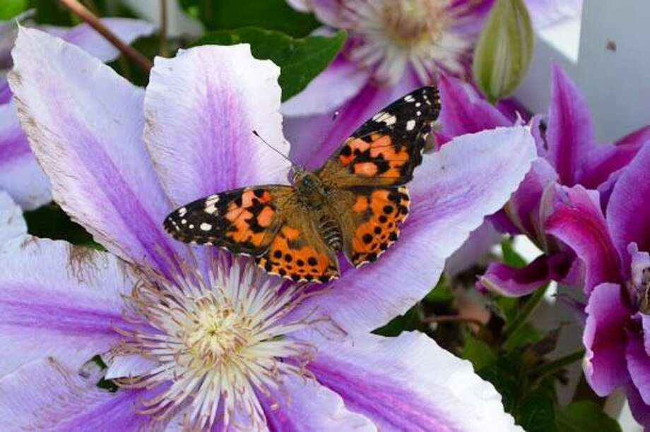 Charlotte Hungerford Hospital will hold its annual Service of Remembrance, with a butterfly release, on Wednesday, June 13. Photo: Contributed Photo
