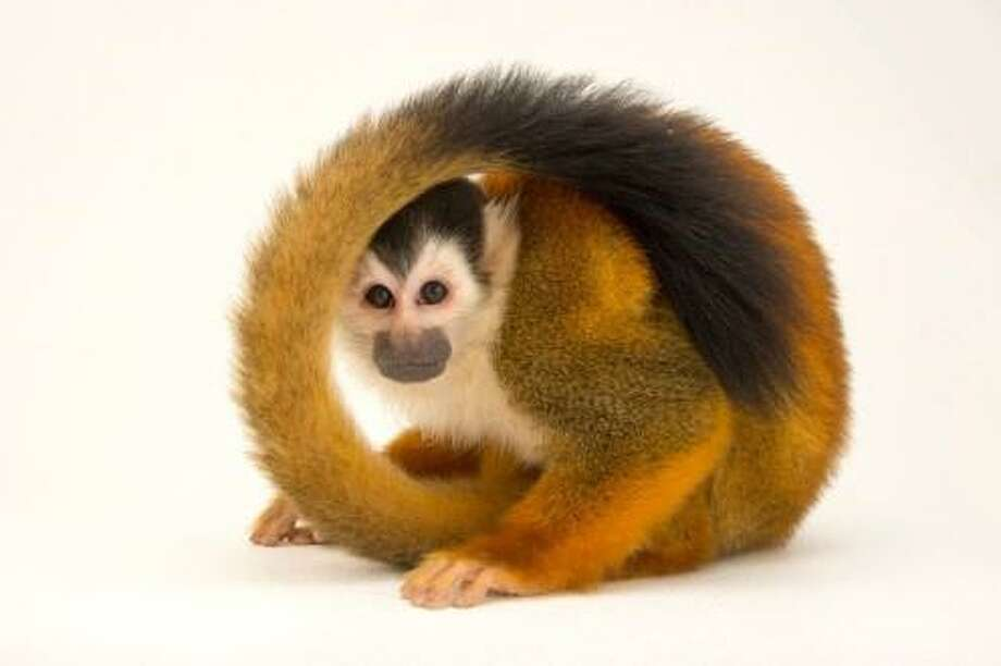 "A vulnerable, male black-crowned Central American squirrel monkey, was photographed at the Summit Municipal Park. It is part of the traveling exhibit, ""National Geographic Photo Ark,"" on display at the Bruce Museum.  Photographer Joel Sartore is documenting every species in the world's zoos and wildlife sanctuaries. When completed, it will include portraits of more than 12,000 species. For more information, visit brucemuseum.org. Photo: © Photo By Joel Sartore /National Geographic Photo Ark /"
