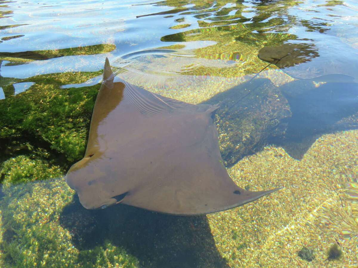 Stingraysswim in the outdoor Stingray Lagoon at the Texas State Aquarium in Corpus Christi, where visitors can gentlytouch the back of one of the sleek creatures or join in at feeding time.