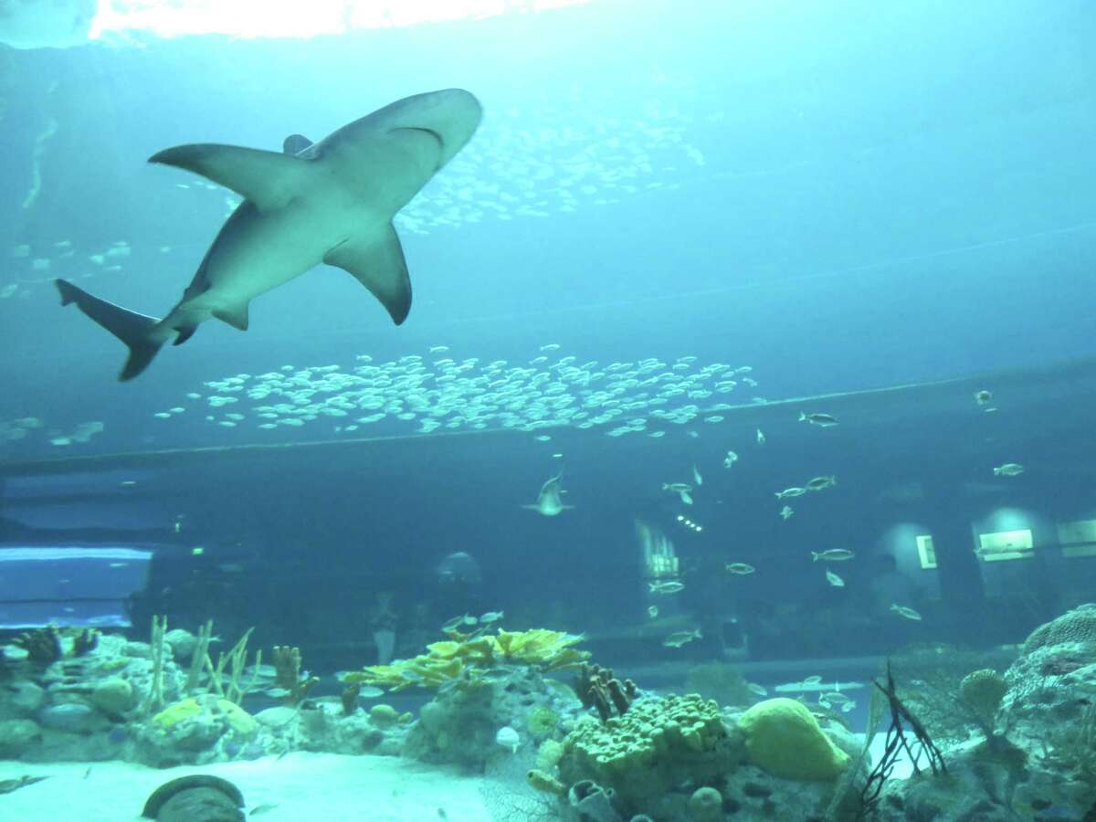 A tunnel on the back side of the H-E-B Caribbean Sea Exhibit at the Texas State Aquarium gives visitors a view of the underbelly of sharks that swim overhead.