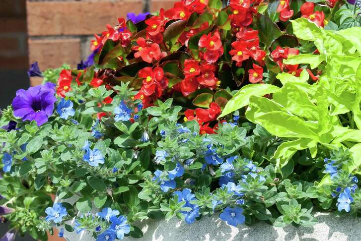 'Blue My Mind' evolvulus stand out when planted next to 'Gold Mound' duranta red begonia.