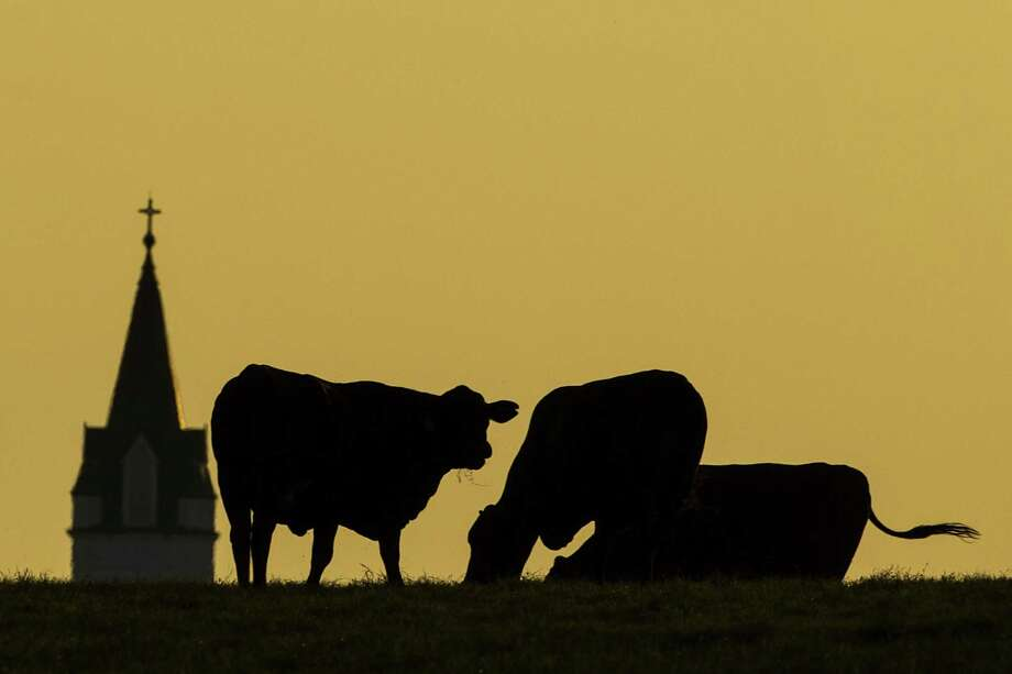 A roaside view of St. John the Baptist Church's steeple silhouetted behind cattle grazing in a pasture near Ammannsville in Fayette County. Photo: Smiley N. Pool, Staff / Houston Chronicle / © 2012  Houston Chronicle