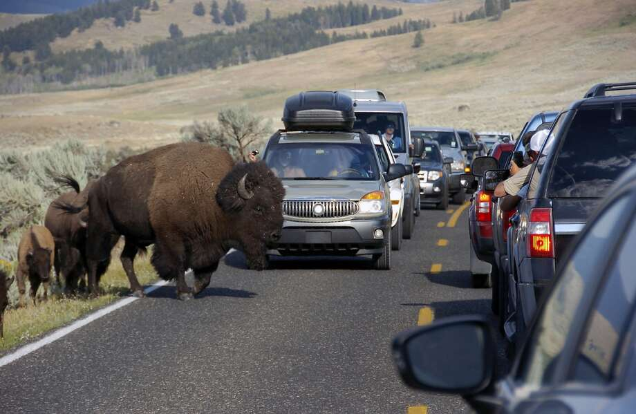 FILE - In this Aug. 3, 2016, file photo, a bison blocks traffic as tourists take photos of the animals in the Lamar Valley of Yellowstone National Park in Wyo.  Photo: Matthew Brown, Associated Press