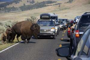 FILE - In this Aug. 3, 2016, file photo, a bison blocks traffic as tourists take photos of the animals in the Lamar Valley of Yellowstone National Park in Wyo. A bison has gored a woman for the third animal attack in Yellowstone National Park this week. Yellowstone officials say a crowd got too close to the bison Wednesday, June 6, 2018, in the Lower Geyser Basin. (AP Photo/Matthew Brown, File)
