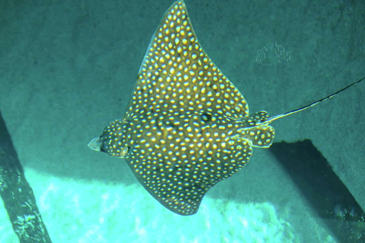 A spotted eagle ray is the newest addition to the Caribbean Sea Exhibit at the Texas State Aquarium in Corpus Christi. The ray has distinctive spots and markings and could eventually grow to 400 pounds with a wingspan of 11 feet.
