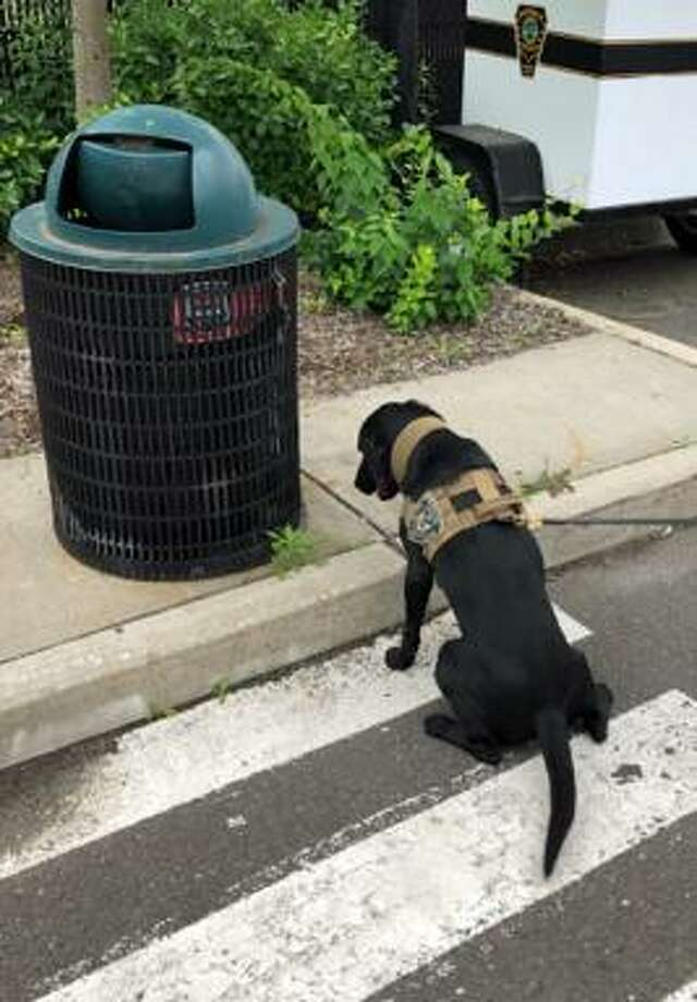 Norwalk Police Department now has two explosive detecting dogs. Pictured is the field trial Labrador Luke. Photo: Norwalk Police Dept. / Contributed Photo / Norwalk Hour contributed