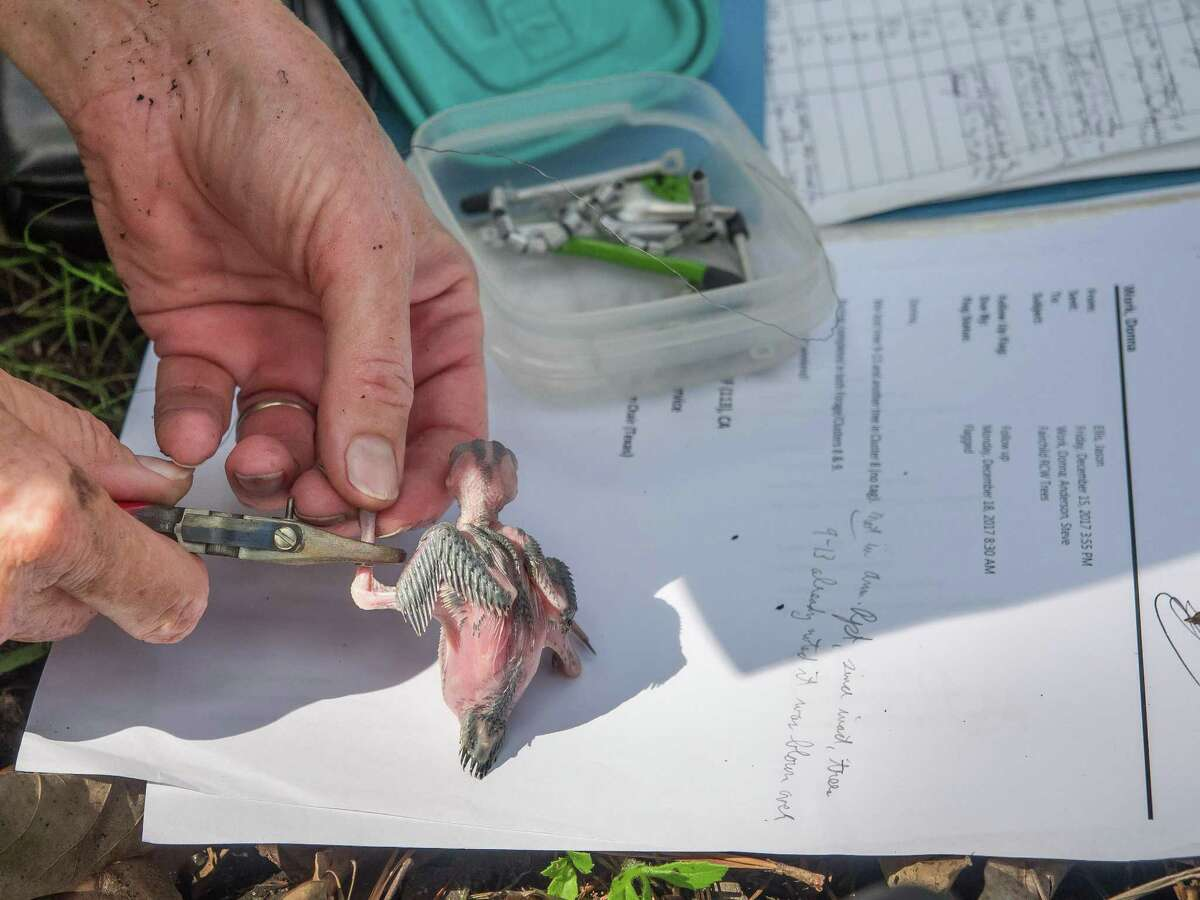 Forest Service director Donna Work's banding process keeps track of around 60 red cockaded woodpeckers. The woodpeckers are one of dozens of species of birds found in the W.G. Jones State Forest.