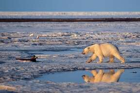 This undated file photo provided by Subhankar Banerjee shows a polar bear in the Arctic National Wildlife Refuge in Alaska.