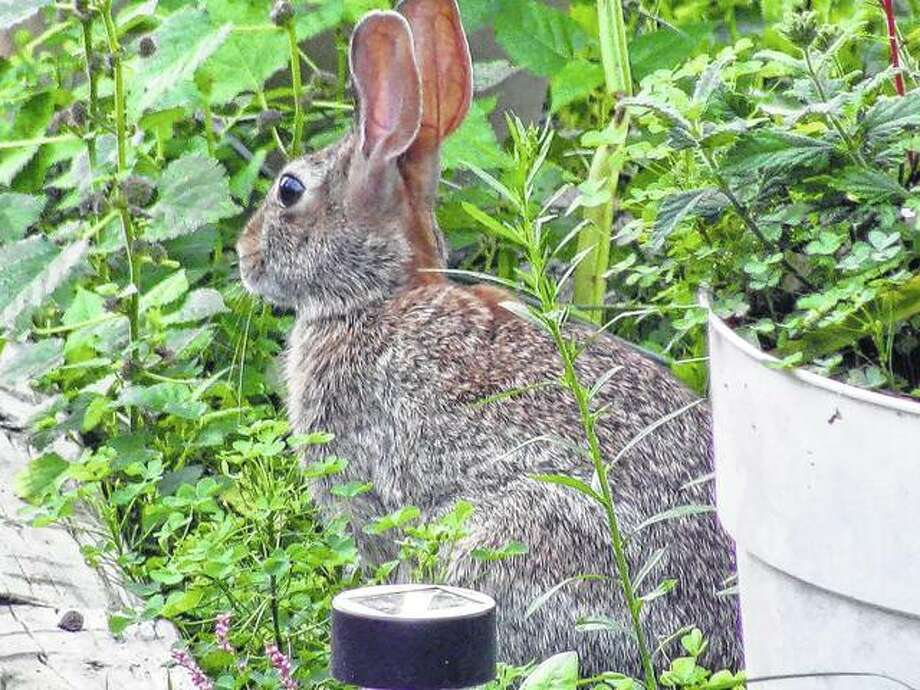 A rabbit sits statuesque in a garden in Scottville.