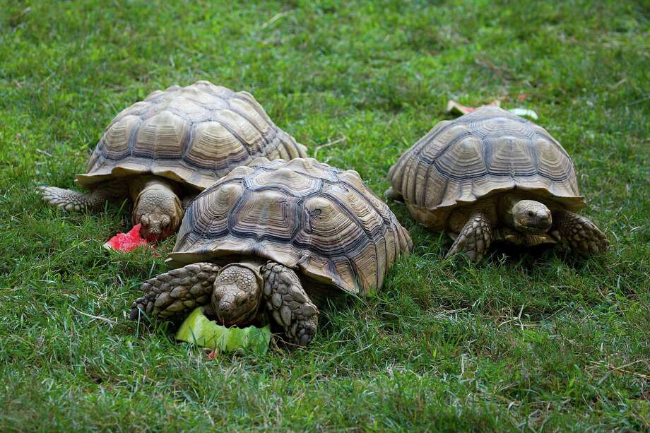 Connecticut's Beardsley Zoo, 1875 Noble Ave., Bridgeport, is adding eight spur-thigh tortoises to its family for the summer. Photo: Contributed / Connecticut's Beardsley Zoo