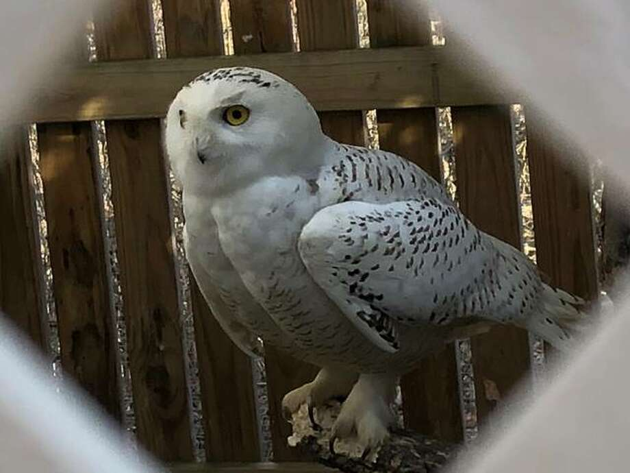 This snowy owl, with a dislocated elbow that healed improperly, was captured over the winter by Adele Moore, a founder of TreeHouse Wildlife Center. Photo:       Ted Cox | For The Telegraph