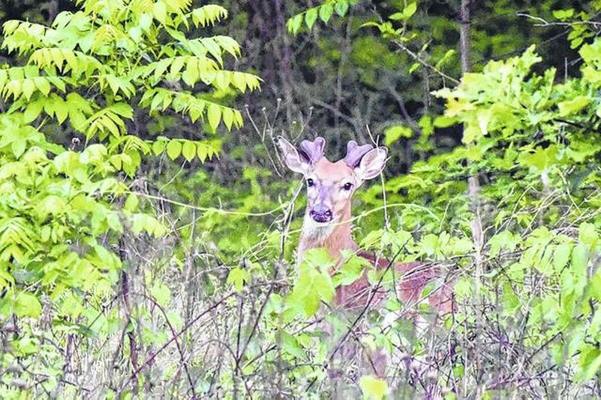 A young buck pokes its head above the brush and branches near Waverly.