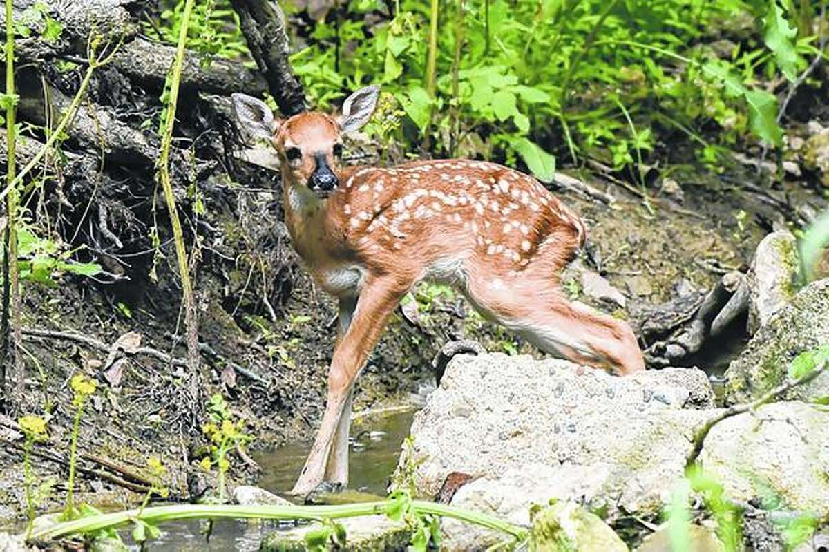 A baby deer explores its surroundings on a farm near Waverly.