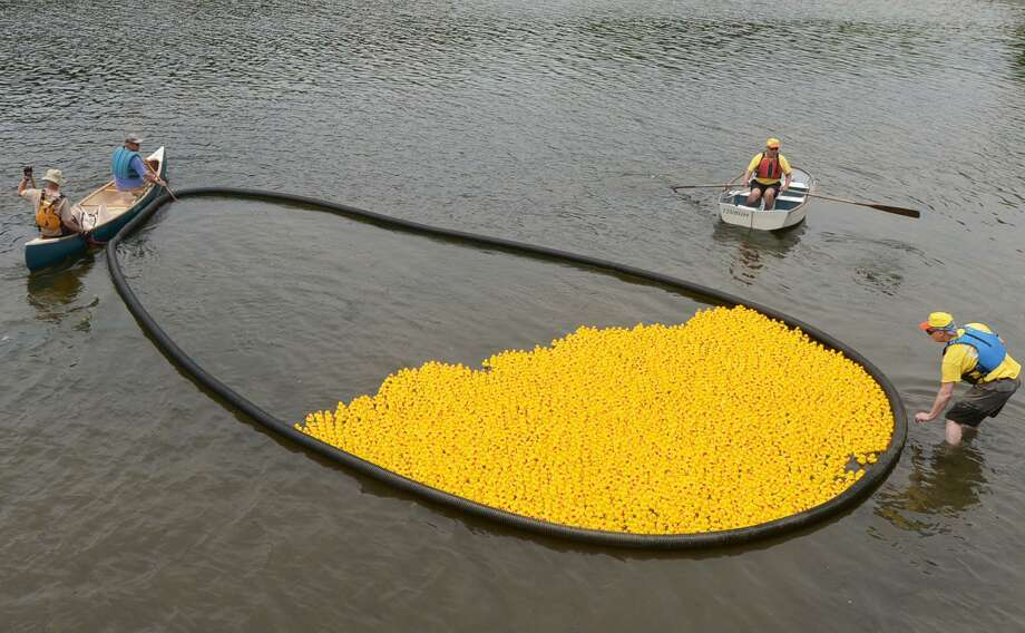 Westport Sunrise Rotary volunteers get the thousands of rubber ducks into place on the  Saugatuck River for the Great Duck Race Saturday, June 9, 2018, at Parker Harding Plaza in Westport, Conn. Photo: Erik Trautmann / Hearst Connecticut Media / Norwalk Hour