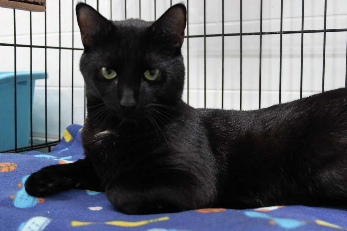 Empire is a strong name for a small black kittie. He lives up to it, too. Empire is very vocal, so prepare your conversations accordingly. He talks to everyone who passes by. He?'s adorable and lovable, all black with the splash of white on his neck. Empire is available now at our adoption center in Granby, stop by and have a chat with this young fellow. He's sure to make you smile. Email marys.kitty.korner@sbcglobal.net, call 860-379-4141 or 413-297-0537, or visit maryskittykorner.org.