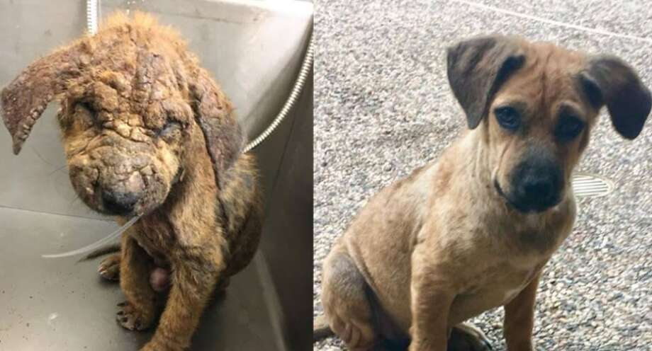 A puppy named Madeleine has undergone an incredible transformation after she was surrendered to the Montgomery County Animal Shelter with a terrible case of sarcoptic mange. Madeleine is now ready to go to her new home. Photo: Catherine Doyle