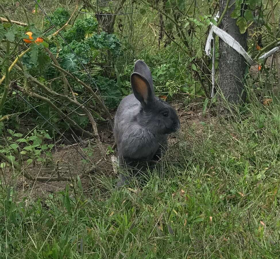 The Vale Urban Farm in Schenectady is asking for the public's help after two of it's rare American Blue rabbits went missing.