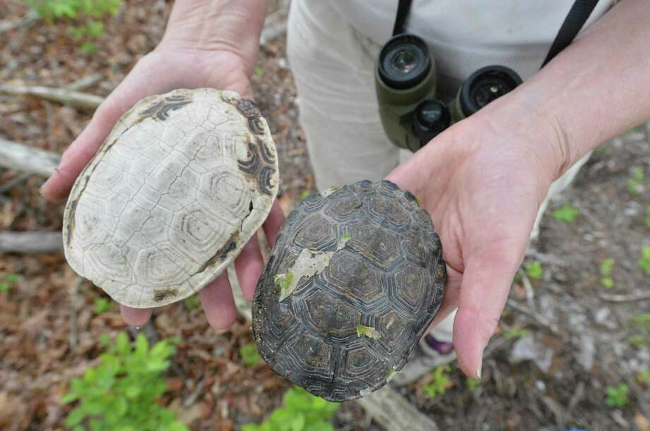 Turtle shells are found on Hoyt Island between Wilson Point and Village Creek on Wednesday in Norwalk. Animals who live on the island include diamondback terrapin turtles, raccoons, possums and whitetail deer.  Photo: Alex Von Kleydorff / Hearst Connecticut Media / Norwalk Hour