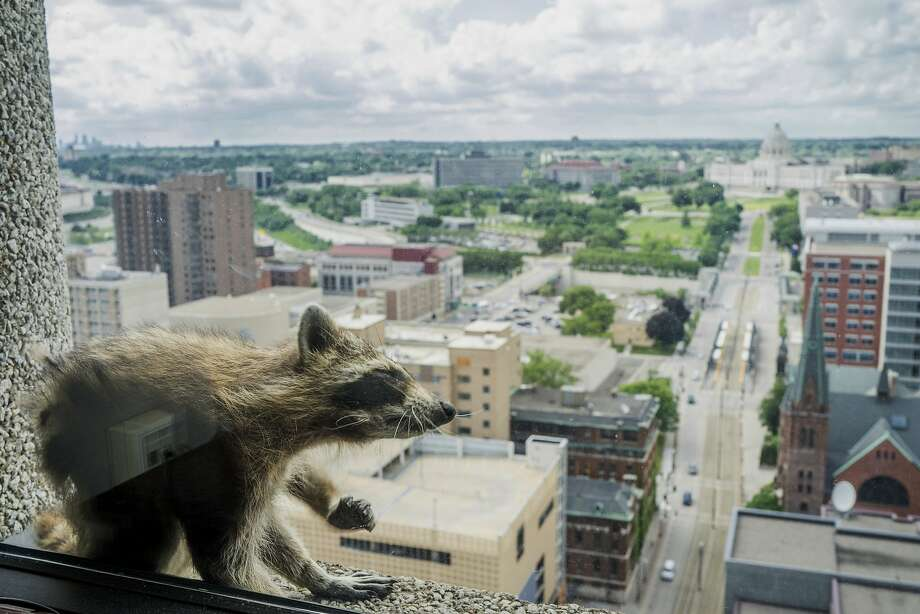 A raccoon stretches itself on the window sill of the Paige Donnelly Law Firm on the 23rd floor of the UBS Tower in St. Paul, Minn., Tuesday, June 12, 2018. The raccoon stranded on the ledge of the building in St. Paul captivated onlookers and generated interest on social media after it started scaling the office building. (Evan Frost/Minnesota Public Radio via AP) Photo: Evan Frost, Associated Press