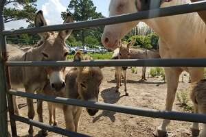 The SPCA worked with the Harris County Constable Precinct 1 office to rescue 32 donkeys and horses, 34 rabbits, four cats and three dogs on June 13, 2018 from the property off Grant Road, west of SH 249 and south of the Grand Parkway.