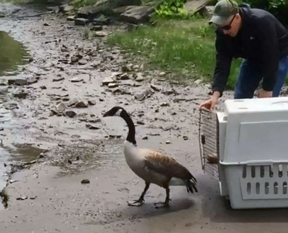 After a month of recovery, a Canada goose rescued by a Connecticut State Environmental Conservation Police officer in Windsor, Conn., has been released back into the wild. Photo: Contributed Photo / Contributed Photo / Connecticut Post Contributed