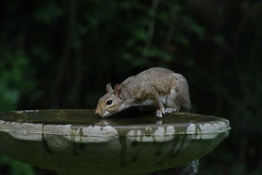 FILE PHOTO — A squirrel takes a drink from a birdbath Sunday, June 3, 2018. Photo: Kirk Sides / Houston Chronicle / © 2018 Kirk Sides / Houston Chronicle