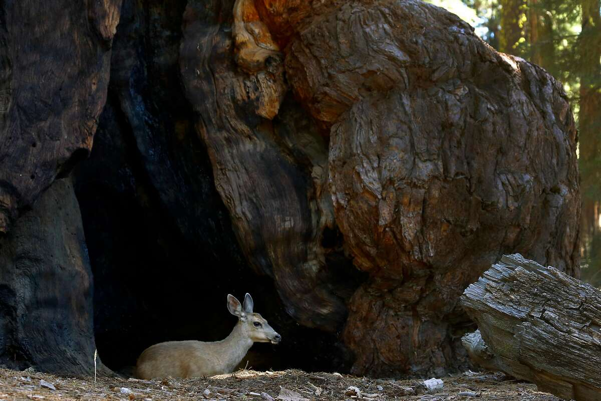 A deer rests at the base of the Grizzly Giant sequoia at the Mariposa Grove in Yosemite National Park on Tuesday, June 12, 2018. The grove of giant sequoias reopens to the public on Friday after a three-year renovation project.
