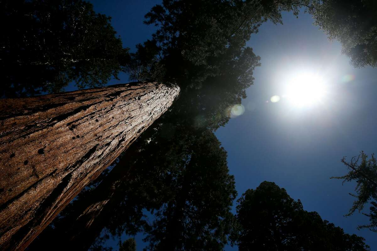 Giant sequoias tower above a new boardwalk trail at the Mariposa Grove in Yosemite National Park on Tuesday, June 12, 2018. The grove of giant sequoias reopens to the public on Friday after a three-year renovation project.