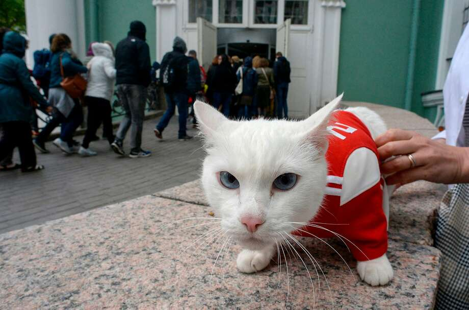 Achilles the cat, one of the State Hermitage Museum mice hunters, is pictured outside the museum in Saint Petersburg on June 7, 2018. A deaf, white cat named Achilles is soon to begin his work as Russia's official soothsayer for the World Cup, following in the tentacle-prints of Paul the Octopus who became a star in 2010. / AFP PHOTO / Olga MALTSEVAOLGA MALTSEVA/AFP/Getty Images Photo: OLGA MALTSEVA;Olga Maltseva / AFP / Getty Images
