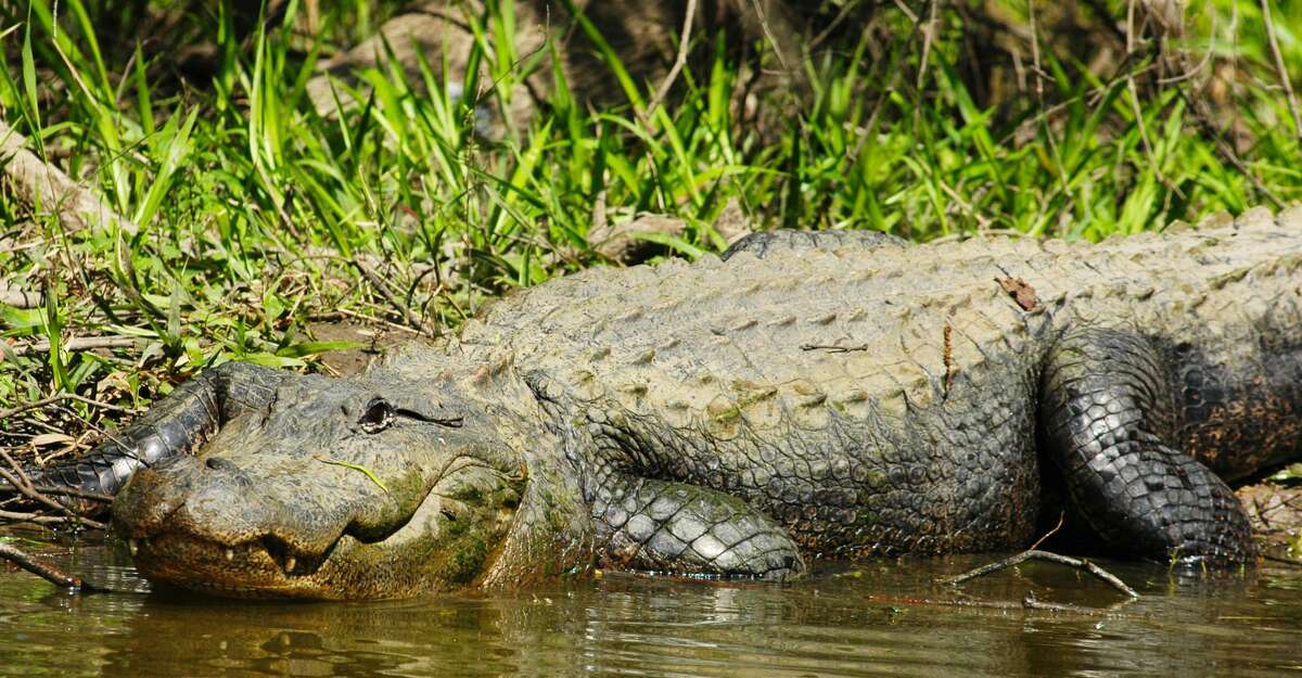 Despite alligators' fierce facade, they are normally reclusive, diffident wildlife. Exceedingly rare dangerous encounters almost always involve people whose actions place them in harm's way of gators that have become acclimated to humans through illegal feeding.