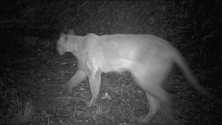 A security camera captured footage of a mountain lion in Hillsborough, Calif., in June 2018. Photo: Hillsborough Police Department