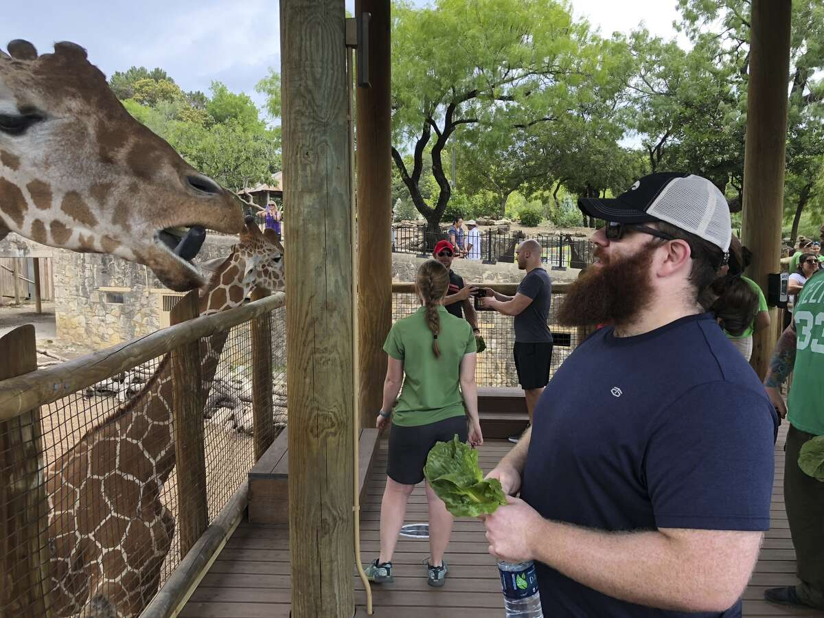 In what's become a viral video, three professional World Wrestling Entertainment wrestlers matched up against Axelle the lioness in a game of tug of war at San Antonio Zoo in May 2018. The lioness won. (Courtesy of San Antonio Zoo)