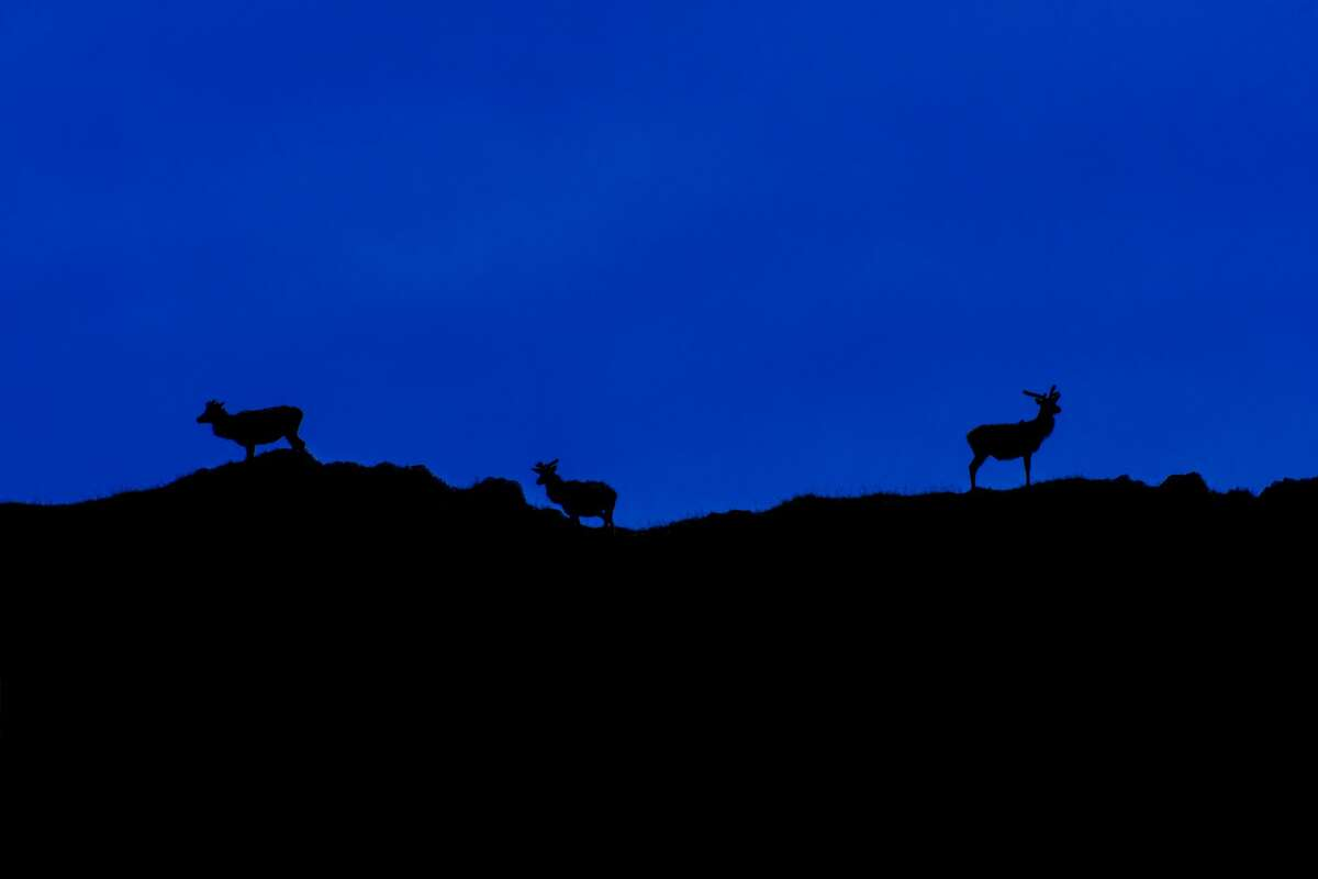 Three red deer stags (Cervus elaphus) silhouetted against night sky on top of hill in the Scottish Highlands, Scotland.