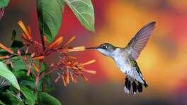 Ruby-throated hummingbird on a firebush