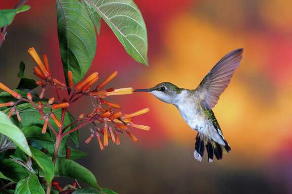 Ruby-throated hummingbird on a firebush