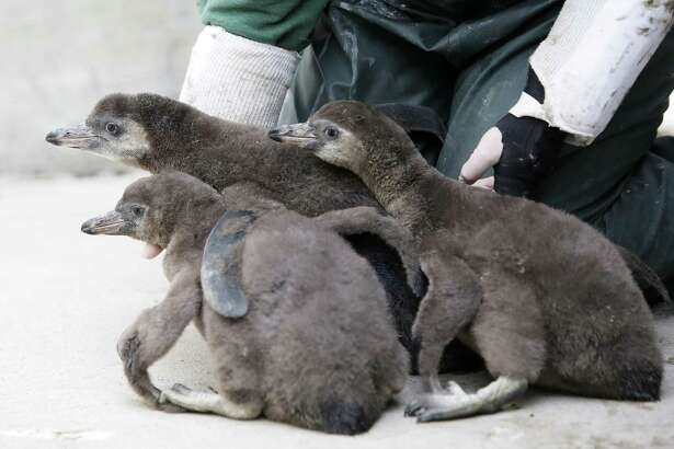 The Woodland Park Zoo's newest penguin chicks, who were hatched just under two months ago, huddle together as they are socialized during their first trip outside, Thursday, June 14, 2018.
