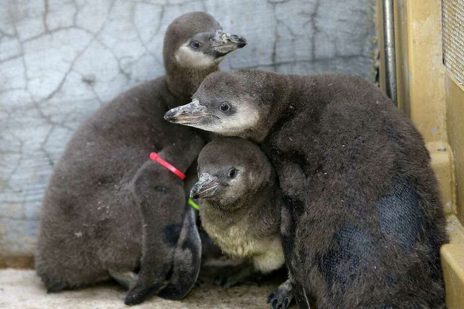 The Woodland Park Zoo's newest penguin chicks, who were hatched just under two months ago, huddle together during their first trip outside, Thursday, June 14, 2018. Photo: GENNA MARTIN, SEATTLEPI.COM / SEATTLEPI.COM