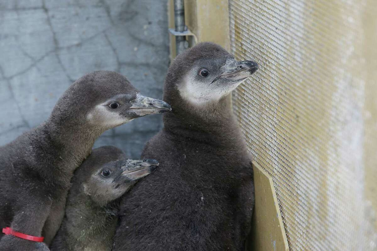 The Woodland Park Zoo's newest penguin chicks, who were hatched just under two months ago, huddle together during their first trip outside, Thursday, June 14, 2018.