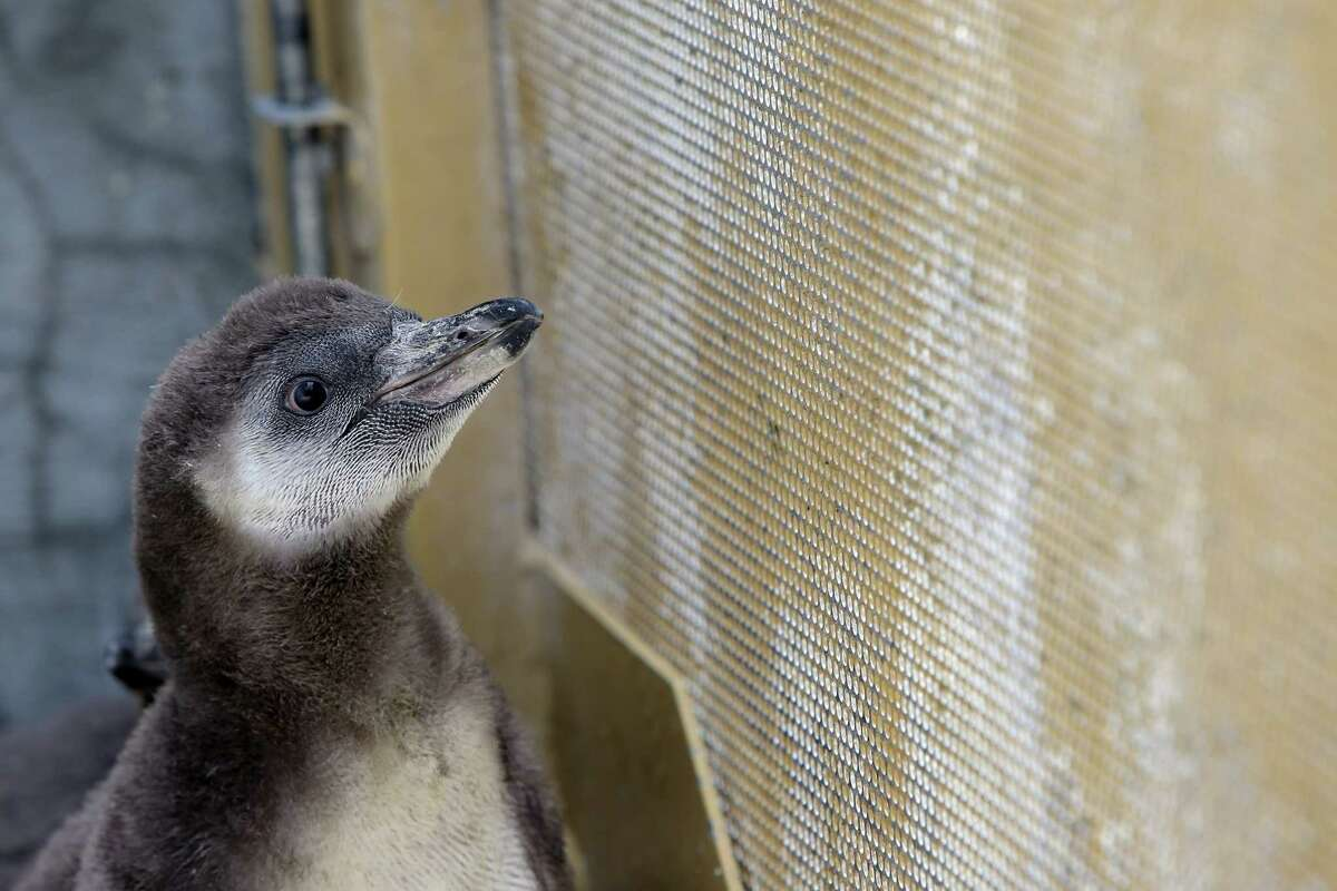 The Woodland Park Zoo's newest penguin chicks are weighed and socialized on their first trip outside, Thursday, June 14, 2018.